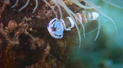 Anemone Shrimp Stock Footage