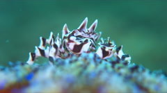 Zebra Urchin Crab Stock Footage