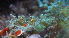 Squat Shrimps Stock Footage