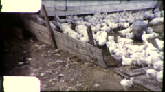Chickens Feeding Poultry Farm Free Range 1950s Vintage Film Home Movie 9199 Stock Footage