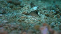 Yellowbarred Jawfish - Opistognathus randalli Stock Footage