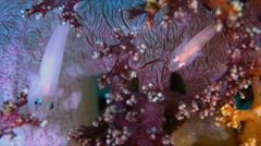 Soft Coral Ghostgoby 4k Stock Footage