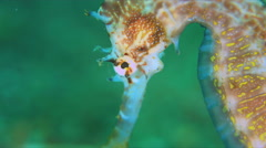 Thorny Seahorse. Close up 4k Stock Footage