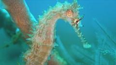 Thorny Seahorse. 4k Stock Footage