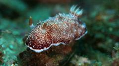 Dorid Nudibranch. 4k Stock Footage