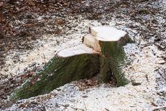 Stump in the forest. After felling a tree stump Stock Photos