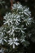 Coniferous branches covered with hoarfrost. Close up. Stock Photos