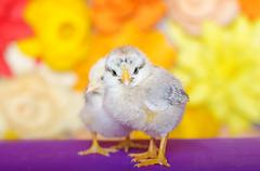 Two little chicken on a bright background. - stock photo