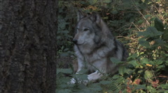 Gray Wolf Laying in Forest Stock Footage