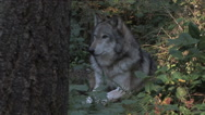 Stock Video Footage of Gray Wolf Laying in Forest
