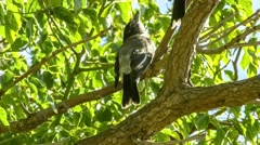 Juvenile grey butcherbird on windy tree branch with sounds of birds chirping Stock Footage