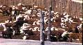 Ranchers Herding Cattle Roundup Steers in Pen 1950s Vintage Film Home Movie 9211 Footage