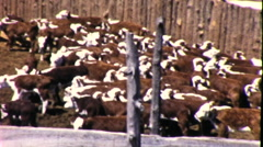 Ranchers Herding Cattle Roundup Steers in Pen 1950s Vintage Film Home Movie 9211 Stock Footage