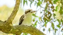 Kookaburra bird taking flight from tree branch, slow motion 30p Stock Footage