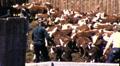 Ranchers Herding Cattle Roundup Steers in Pen 1950s Vintage Film Home Movie 9212 HD Footage