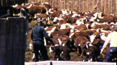 Ranchers Herding Cattle Roundup Steers in Pen 1950s Vintage Film Home Movie 9212 Stock Footage