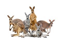 group of kangaroo - stock photo