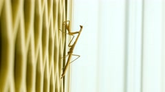 Long purple winged praying mantis insect climbing upwards on wall Stock Footage
