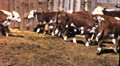 CATTLE Ranch Steers Cows in Pen Ranching 1950s Vintage Film Home Movie 9213 HD Footage