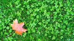 maple leaf on the grass - stock photo