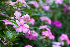 Evergreen Vinca Flower - stock photo