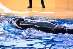 Mammal Orca Killer Whale Fish Stock Photos