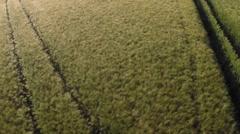 Field of Rye Blue Sky Aerial Stock Footage