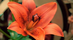Camera shoots flowers of the amaryllis, lily and rose in motion. Macro Stock Footage