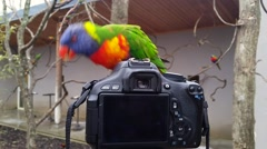 Rainbow Lorikeet Standing on the Camera Stock Footage