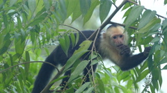 Close up from a Young Capuchin monkey eating Stock Footage