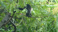 Young Capuchin monkey eating small leaves Stock Footage