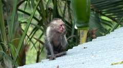 Capuchin monkey with less hair on a rooftop Stock Footage