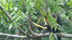 Capuchin monkey eating in a tree in the forest of Montezuma Costa Rica Stock Footage