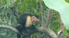 Capuchin monkey jumping up and eating fruit Stock Footage