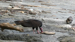 Vulture at the beach eating from a death fish Stock Footage