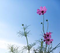 Honey bee and cosmos flower on blue sky background - stock photo