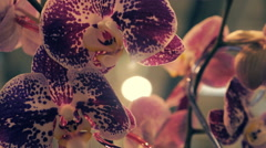 Camera shoots flowers of the orchid in motion - stock footage