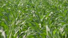 Windy Corn Stalks 2 Stock Footage