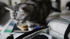 American Shorthair cat - stock footage
