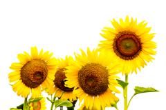 sunflowers on blurry background - stock photo