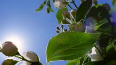 Brilliant nature panoramic scene with sun and flowering jasmine Stock Footage