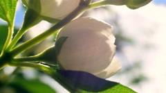 Sunny panoramic close up view of white jasmine blossoms Stock Footage
