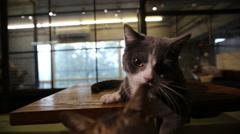 Munchkin cat Stock Footage