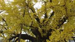 Ginkgo Tree at Temple in Kyoto, Japan Stock Footage