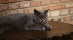 british shorthair cat - stock footage