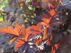 "Physocarpus opulifolius ""Andre"" shrub leaves - stock photo"