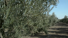 PAN row of olive trees Stock Footage