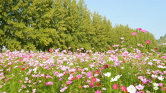 Panning shot of cosmos flower field Stock Footage