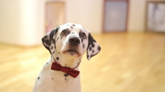 Dog breed Dalmatian dog looking at the camera Stock Footage