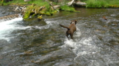 Dog has fun playing in the river Stock Footage